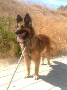 Beautiful Belgian Shepard dog