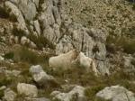 Goats on Mount Bernia