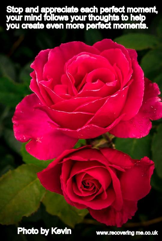Beautiful, full bloom red roses